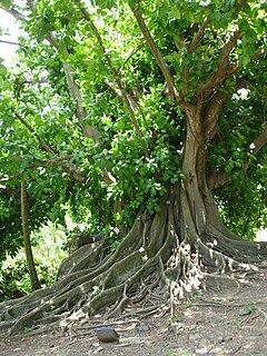 <i>Ficus citrifolia</i> species of plant