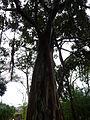 Ficus columnaris 01c by Line1.jpg