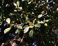 Ficus obliqua Kirsova PG Glebe yngfruit sml.jpg