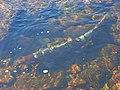 Fish in Black Burn - geograph.org.uk - 640360.jpg