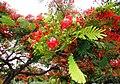 Flamboyan en flor en el campus de la Universidad de Puerto Rico - panoramio.jpg