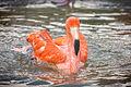 Flamingo Splashing (20267596742).jpg