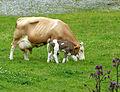 Fleckvieh-Mutterkuh mit Kalb 1.JPG