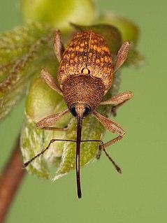 <i>Curculio nucum</i> Species of beetle