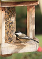 Flickr - Oregon Department of Fish & Wildlife - 3317 black-capped chickadee munsel odfw.jpg