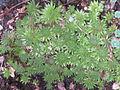 Flickr - brewbooks - Sempervivum Our Garden - 2003.jpg