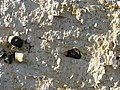 Flints in chalk - geograph.org.uk - 749822.jpg