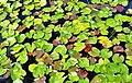 Floating lilies leaves - panoramio.jpg