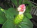 Flor de Caña la India - panoramio.jpg