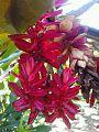Flor tropical Ginger roja.jpg