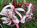 Flores da Chapada 04.jpg