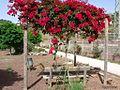 Flores rojas colgando - panoramio.jpg