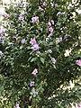 Flower tree in Istanbul 20190723.jpg