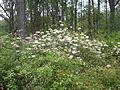 Flowering Bush 02, Reed Bingham State Park.JPG