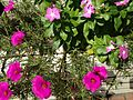 Flowers of portulaca grandiflora and catharanthus roseus 20150929.JPG