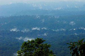 Spongiforma thailandica - Khao Yai forests of central Thailand