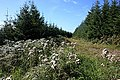 Forest Track ^ Thistles - geograph.org.uk - 2051063.jpg