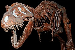 Fossil Tyranausaurus Rex at the Royal Tyrell Museum, Alberta, Canada.jpg