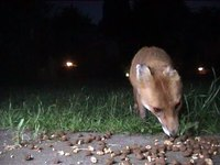 File:Fox Family Cam.webm