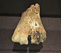 Fragment distal de metacarp d'ur, museu de la Valltorta.JPG