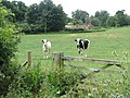 Friesian heifers in field adjoining lane to Wood's End Tavern - geograph.org.uk - 1388298.jpg