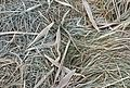 Frost on grass and reed leaves.jpg