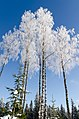 Frosty Birches - panoramio.jpg