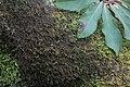 Frullania tamarisci (a, 144607-474851) 2058.JPG