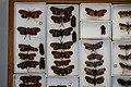 Fulgoridae Drawers - 5036085213.jpg