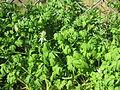 Fumaria capreolata plant2 (14398544180).jpg
