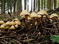 Fungi, Wark Forest - geograph.org.uk - 1590187.jpg