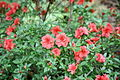Gable Azalea (Rhododendron) 1A-12-G (3575219026).jpg