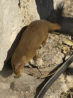 Angolan slender mongoose species of mammal