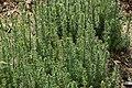 Galium verum in Jardin Botanique de l'Aubrac 08.jpg
