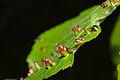 Galls on a linden leaf.jpg