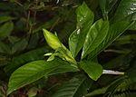 Gardenia jasminoides Double-flowered bud.JPG