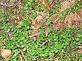 Gaultheria hispidula 2-eheep (5097887472).jpg