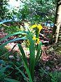 Gele lis iris pseudacorus.jpg