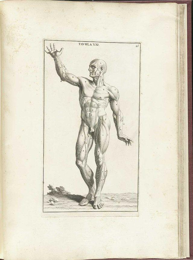 Anexo:Músculos esqueléticos - Wikiwand