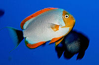 Genicanthus personatus NOAA.jpg