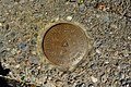 Geodetic survey marker on University of Washington campus.jpg