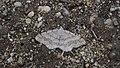 Geometrid Moth (14168871739).jpg