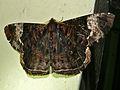 Geometrid Moth (Xandrames latiferaria) (8415426550).jpg