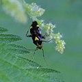 Gepunktete Nesselwanze Liocoris tripustulatus 3409.jpg