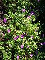 Geranium sanguineum 'twinned flower form' 2007-06-02 (plant).jpg