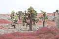 Giant Prickly Pear Cactus (Opuntia echios) - Santa Fe Island - Galápagos Islands - Pacific Ocean - 14 Sept. 2011.jpg
