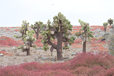 Giant Prickly Pear Cactus (Opuntia echios) - Santa Fe Island - Galápagos Islands - Pacific Ocean - 14 Sept. 2011.jpg