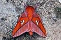 Giant silk moth (Adelowalkeria tristygma).jpg