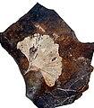 Gingko Fossil.jpg