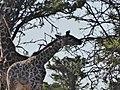 Giraffe (23540183498).jpg